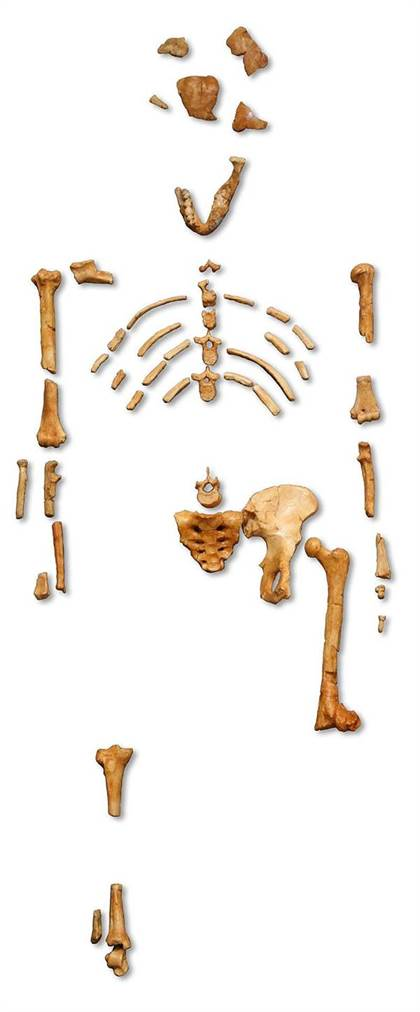 Reconstruction of the fossil skeleton of Lucy the Australopithecus afarensis